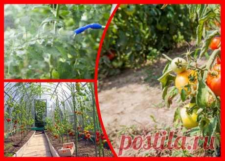 Уход за томатами в августе: 7 необходимых действий   Огородные шпаргалки   Яндекс Дзен