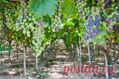 Как вырастить виноград своими руками: секреты виноградарства на приусадебном участке | Дом и сад | Яндекс Дзен