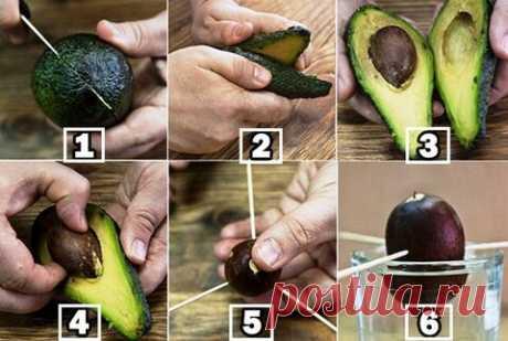 «Как вырастить авокадо из косточки в домашних условиях?» – Яндекс.Кью