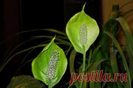 Почему у спатифиллума зеленеют цветы, что делать