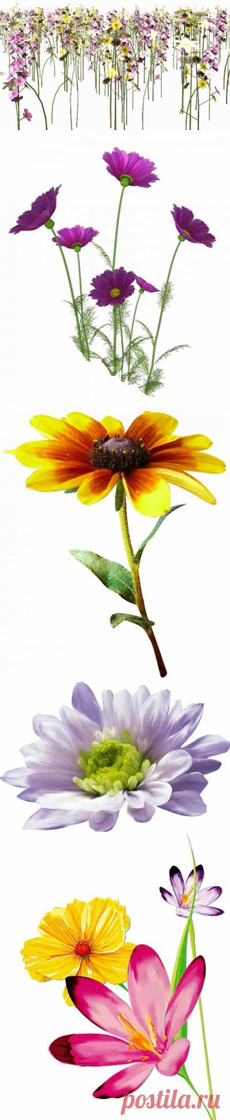 Для вашего творчества.. Полевые цветы...100 картинок на прозрачном фоне....