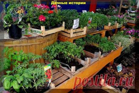 Спасаем рассаду поливами и делаем ее красивой, как на рынке | Дачные истории | Яндекс Дзен