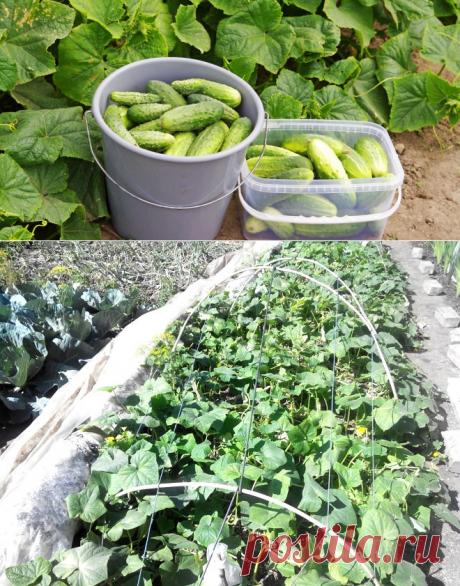 Как продлить плодоношение огурцов? | На грядке (Огород.ru)