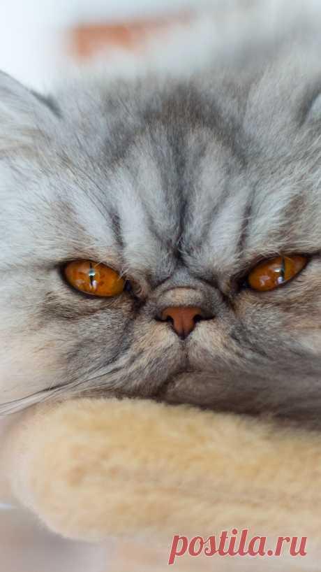 Серый кот хочет спать iPhone обои