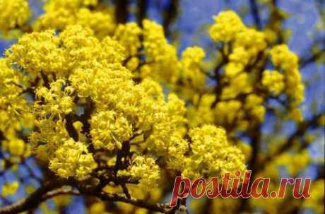 Самые неприхотливые кустарники, которые начинают цвести ранней весной - Цветочки - медиаплатформа МирТесен