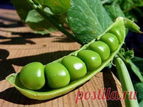 Семена гороха - посадка, выращивание, уход, популярные сорта