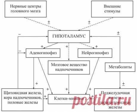 Железы внутренней секреции: гормоны в таблице и функции