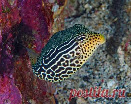 Reticulate Boxfish   (Ostracion solorensis) Puerto Galera, Mindoro Philippines