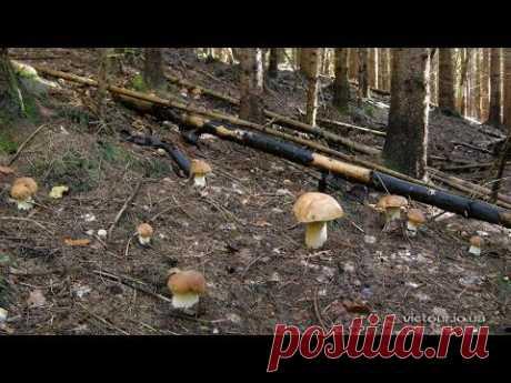 Настоящие грибы Карпат