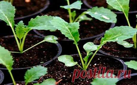 5 подсказок по выращиванию крепкой рассады капусты