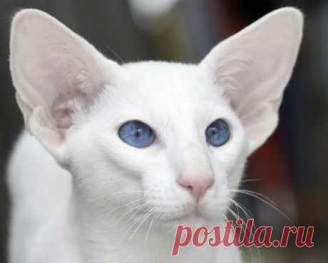 Форин Вайт - это невероятно красивая, добрая, умная и ласковая, по отношению к членам своей семьи, кошка.