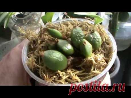 Las orquídeas. El contenido en la cocina.