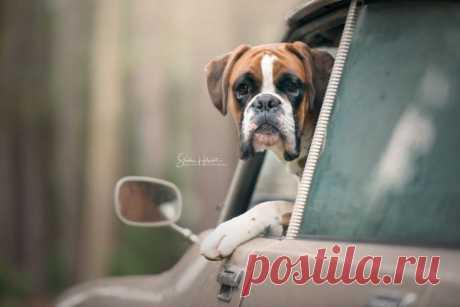 Собаки на винтажных автомобилях своих владельцев Сандра Хелсохт - профессиональный бельгийский фотограф снимает собак в винтажных автомобилях. Довольные собачьи мордахи говорят о том, что они любят