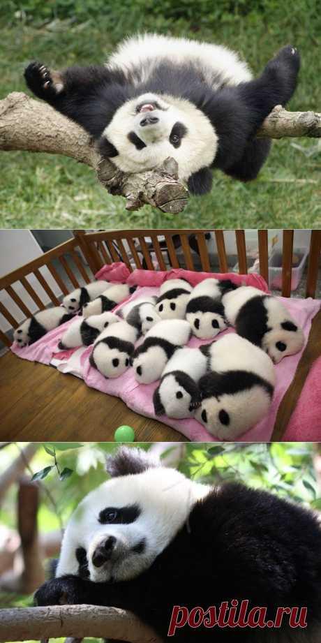 Самые милые и забавные панды : НОВОСТИ В ФОТОГРАФИЯХ