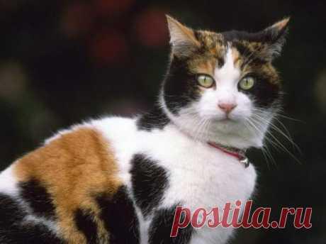 Трехцветные кошки приносят счастье: интересные факты и приметы Рубрика Досуг - Животные: Трехцветные кошки приносят счастье: интересные факты и приметы. Читай последние новости событий на Joinfo.ua