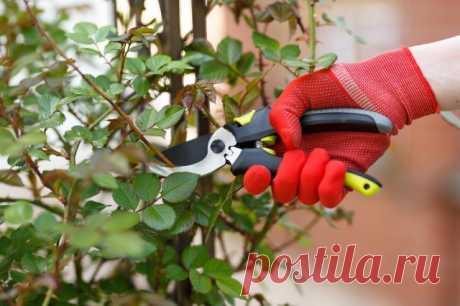 Черенкование роз в домашних условиях – 10 шагов до собственных саженцев | Розы (Огород.ru)