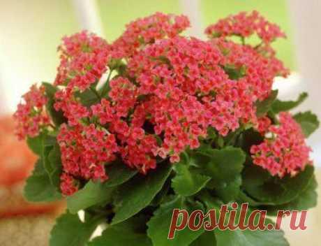 Kalanhoe: el transbordo después de la compra y la partida en las condiciones de casa para el florecimiento, también los consejos, como escoger la planta en la tienda