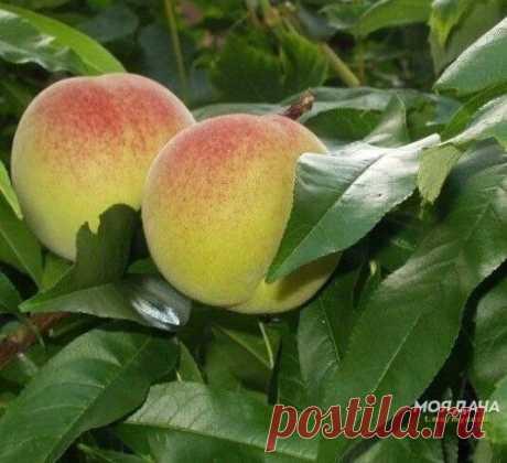 Как вырастить персик из косточки?