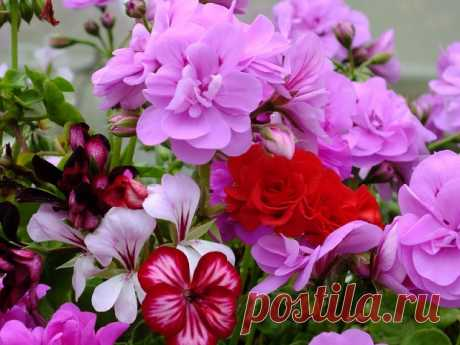 As it is correct to cut off a geranium
