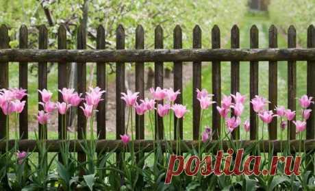 Чем подкормить тюльпаны весной и после цветения | В цветнике (Огород.ru)