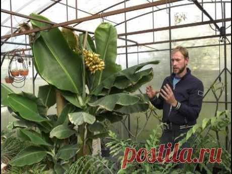 Как вырастить бананы в Воронеже? - YouTube