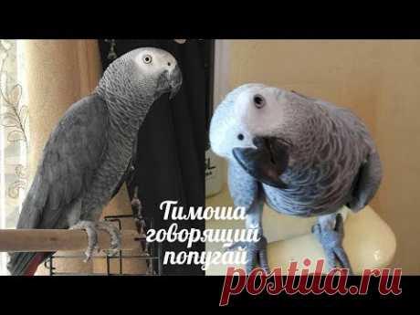 Тимоша говорящий попугай, порода Жако. Подборка видео #2