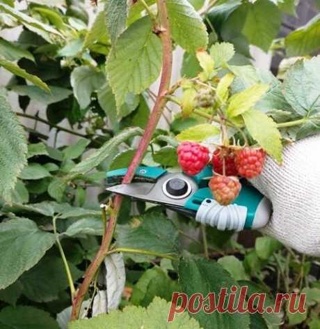 Как обрезаю ремонтантную малину и получаю двойной урожай в следующем году | Klumba-plus | Яндекс Дзен
