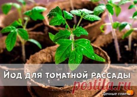 Йод для томатной рассады Рассаду помидоров поливают раствором йода для более быстрого роста (1 капля на три литра). После применения этого раствора рассада зацветёт быстрее, а плоды будут крупнее. Может йод защитить помидоры и от фитофторы. Для этого Вам понадобятся несколько капель йода и 250 грамм молока, смешайте их с 1 литром воды. Раствор - одна капля йода на три литра воды, этим йодным раствором надо один раз полить рассаду томатов. От этого увеличиться продуктивност...