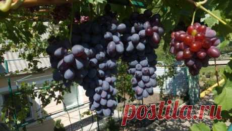 Советы по обрезке виноградных кустов для новичков | Земля Моя Кормилица | Яндекс Дзен