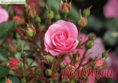 СПАСАЕМ РОЗЫ....ВОДКОЙ Прошлой зимой мои розочки подопрели.ну думаю пропали цветочки потом узнала совет что можно спасти розы настоем: 1стак. водки на ведро воды. И я так и сделала полила всего 1 раз и они стали расти,и цвести лучше чем в прошлом.