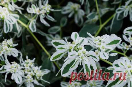Как правильно выращивать и размножать цветок «Богатая невеста» — 6 соток
