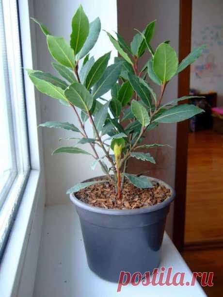 Уход за лавровым деревом в домашних условиях