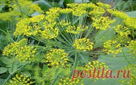 Как вырастить укроп кустом, а как - зонтиком   огород
