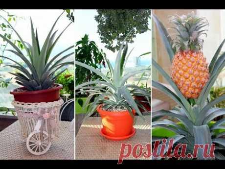 Ананас. Как вырастить ананас. Как правильно посадить ананас. Лайфхак. Часть 1.  Моя Dolce vita - YouTube