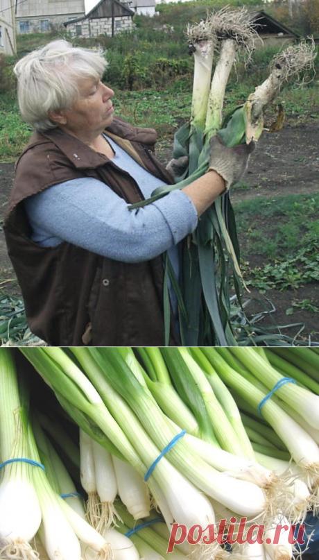 Как вырастить лук-порей » Женский Мир