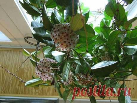 Выращивание хойи, или воскового плюща в домашних условиях