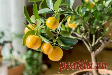 Экзоты из косточек: выращивание авокадо, финика, мушмулы и цитрусовых в домашних условиях