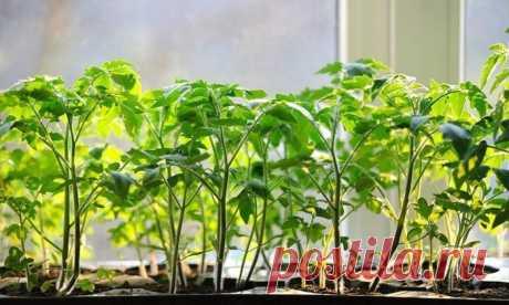 Как защитить рассаду томатов от болезней: комплексе мер Томаты относятся к культурам с длинным вегетационным периодом, поэтому требуют выращивания через рассаду. Начинающие огородники не всегда справляются с этой задачей. Появившиеся сеянцы иногда вдруг массово гибнут.