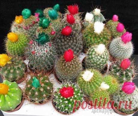 Комнатные кактусы: виды название и фото