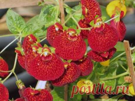 Flower a calceolaria – leaving in house conditions: cultivation of a calceolaria from seeds; reproduction of a calceolaria