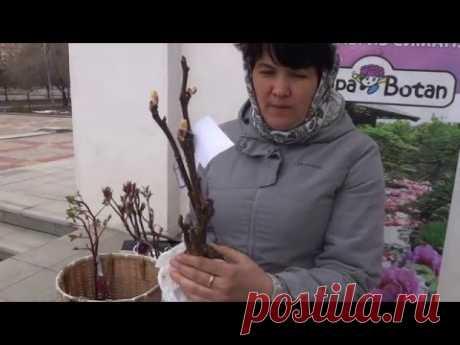 Агротехника древовидного пиона от Елены Андреевой