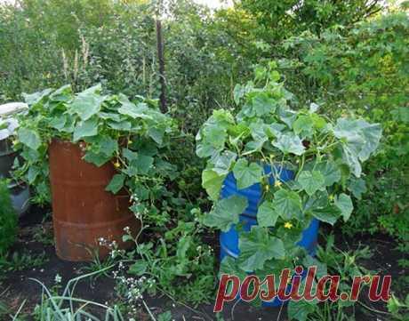 Как посадить огурцы в бочке   Красивый Дом и Сад