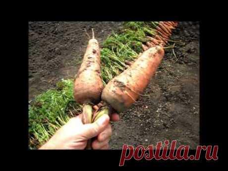 Вкусный Огород: Морковь КОРОЛЕВА ОСЕНИ