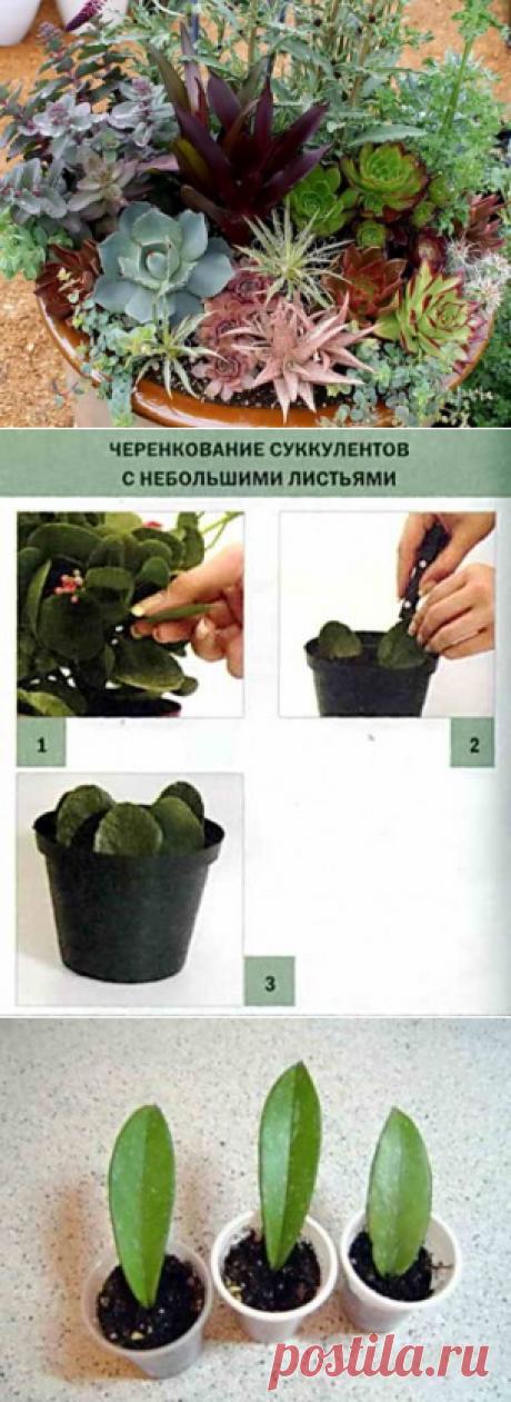 Размножение суккулентов семенами, черенками и листом | Дача - впрок