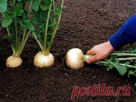 Репа - исконно русский овощ. Мы будем её садить, а не картошку!