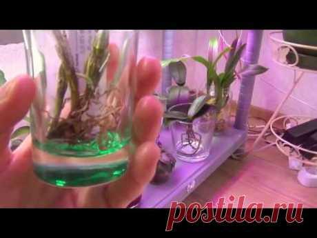 Часть 2.Ошибки при выращивании орхидей в воде и болезни, как следствие.