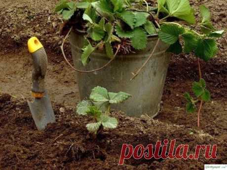 Чем подкормить клубнику осенью — Садоводка