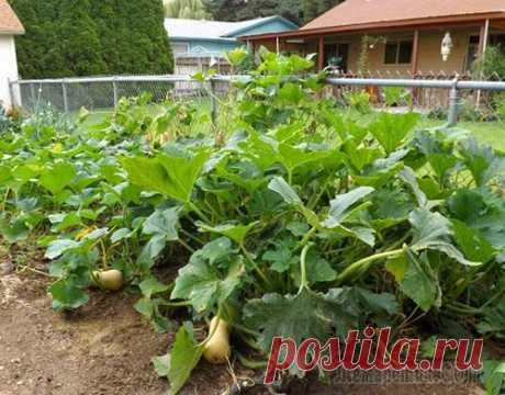 Как вырастить сочную сладкую тыкву на своем участке?