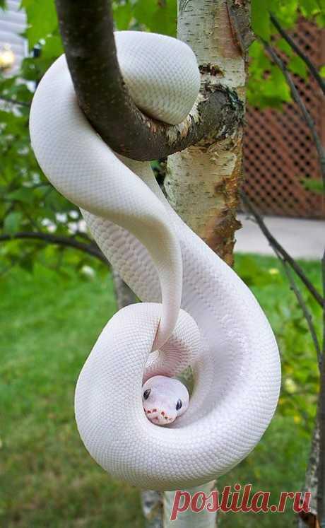 Шамиль Насретдинов– Google+ - змея-альбинос
