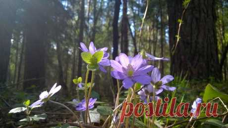 Hepatica nobilis, spring flower - Clickasnap - The world's largest, free to use, paid per view, image sharing platform